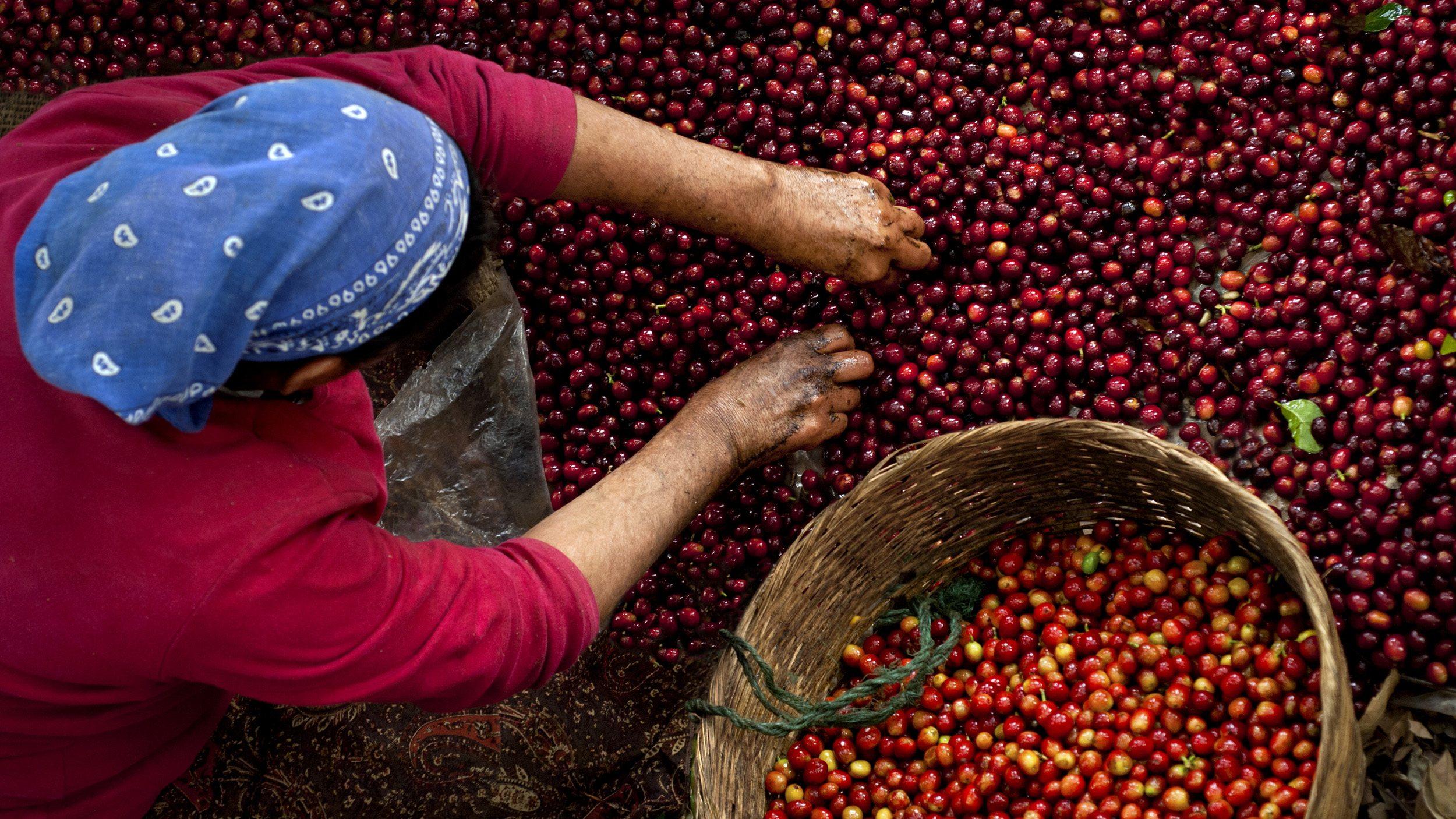 A coffee picker in El Salvador.