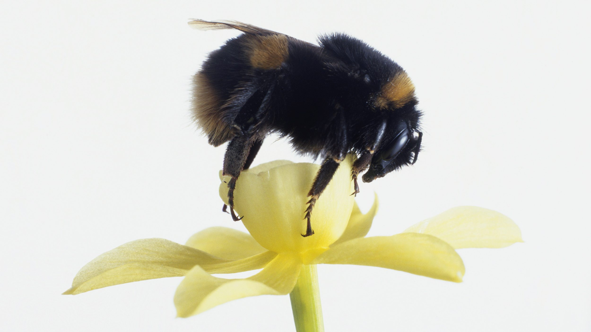 Bumblebee feeding on pollen from a yellow flower