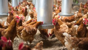 Hens in a barn are gathered around a metal feeder