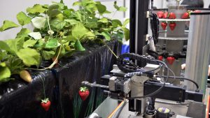 A robot picks a ripe strawberry.