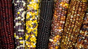 Close up of a selection of Indian corn in autumn hues.