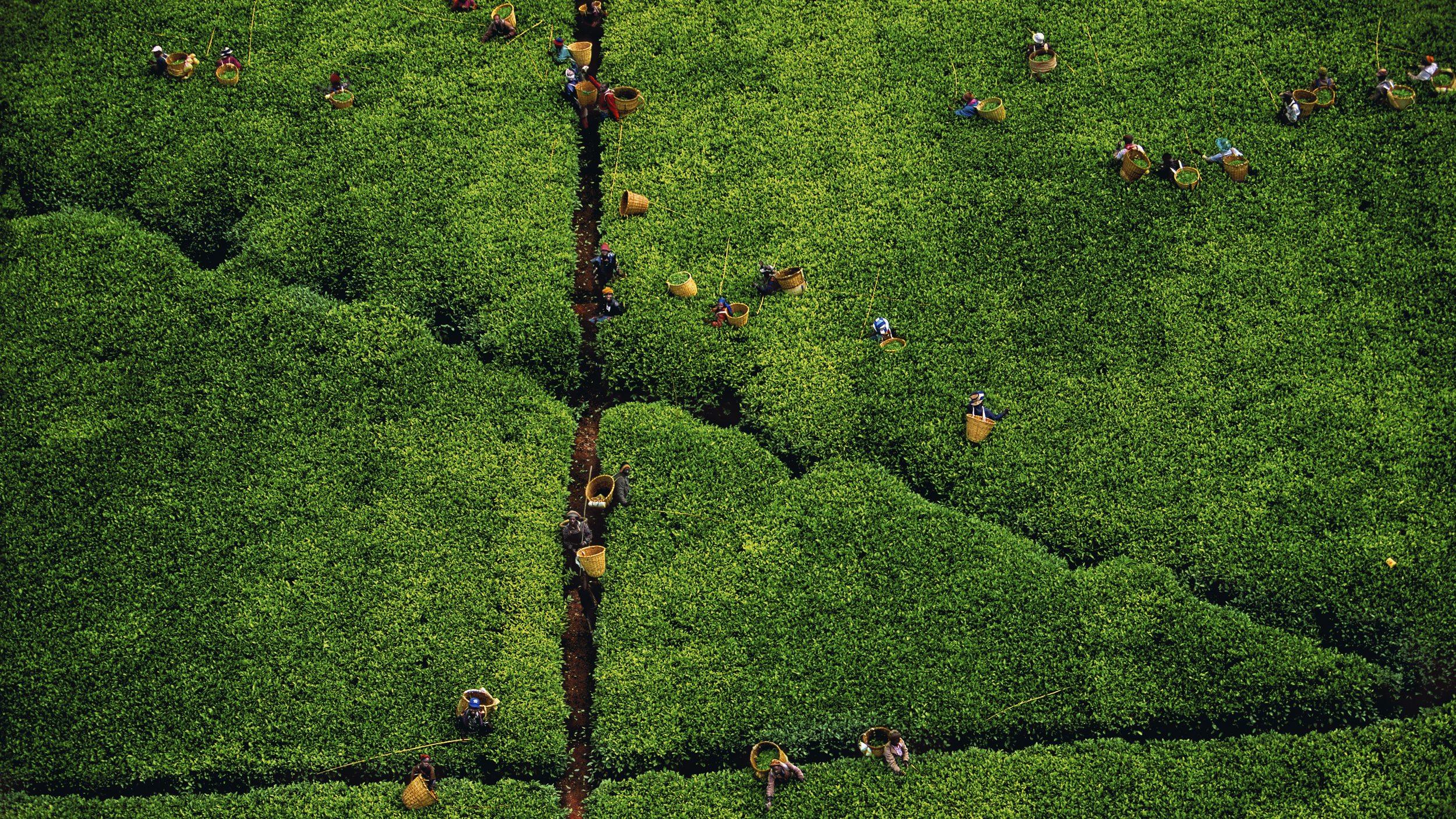 Tea picking, Kericho region, Kenya