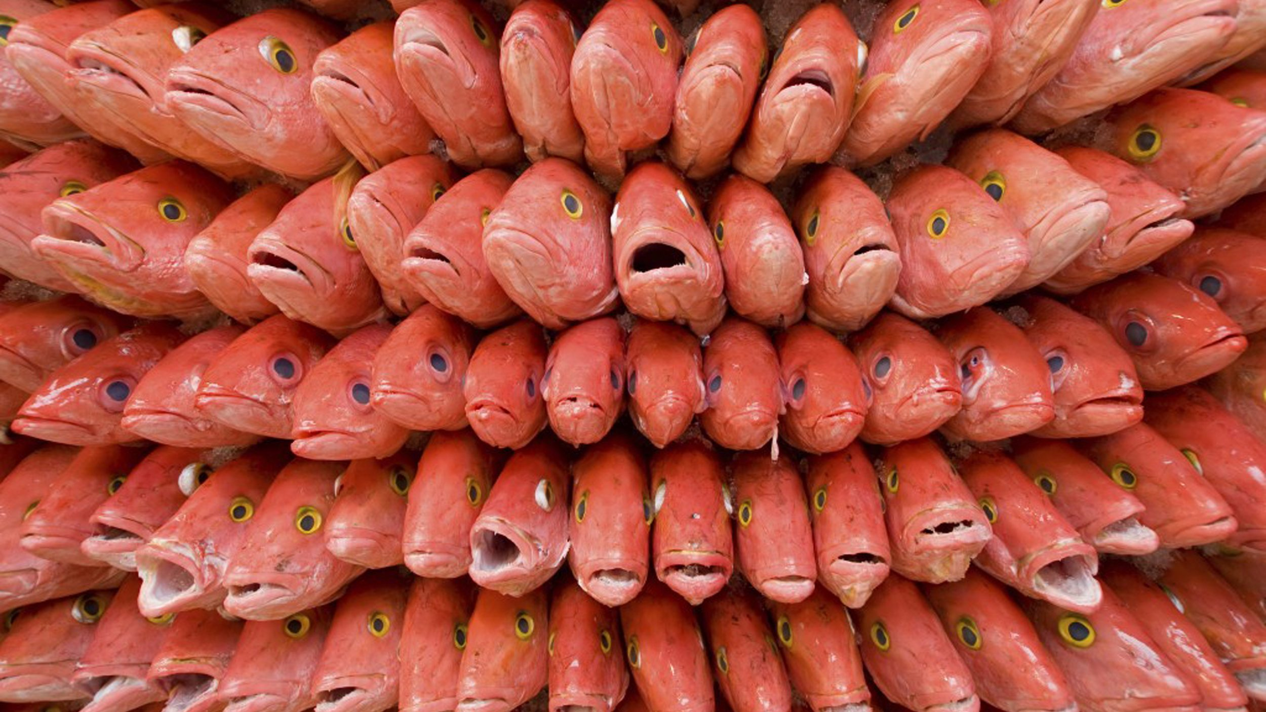 A bunch of frozen red snapper fish with their mouths open