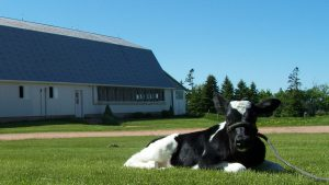 Dairy cow rests ih the grass infront of a barn