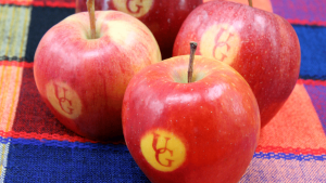 Apples with UG imprinted on the side, on a colourful blanket