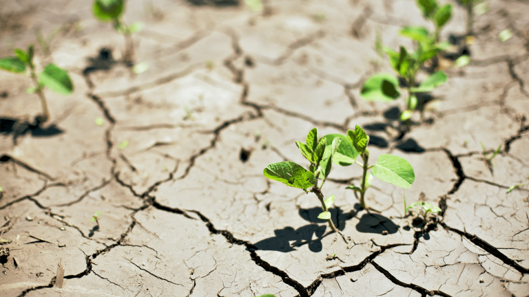 small soybean plants growing in cracked earth