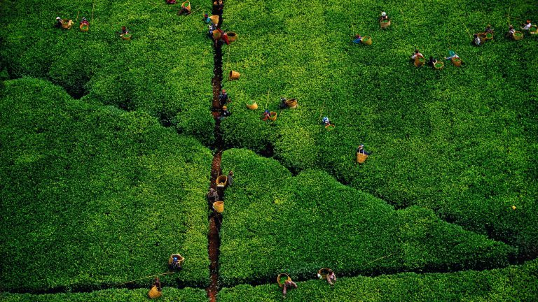 Tea picking, Kericho region, Kenya