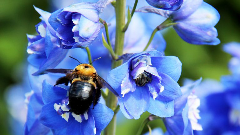 A bee on a blue flower
