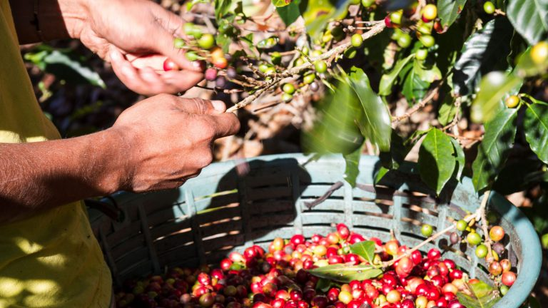 Hands of a man picking coffee