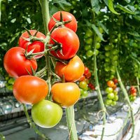 Tomatoes on vine in a greenhouse
