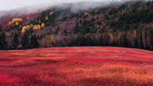 A field of red-leaf blueberries in fall