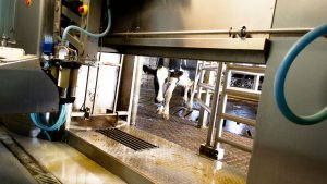 A dairy cow approaches a robotic milker