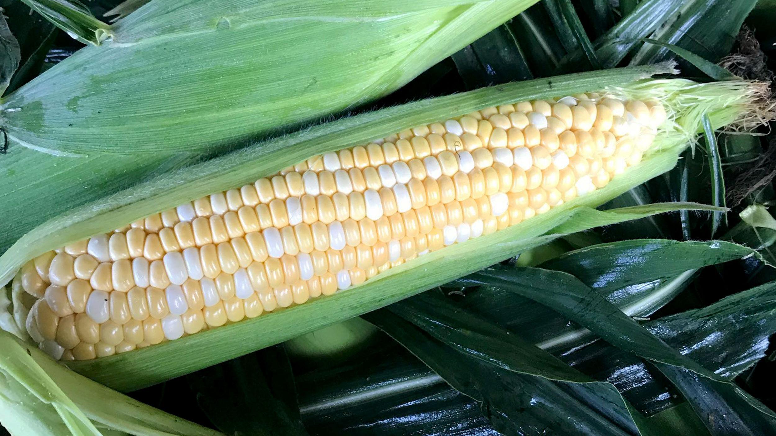 Sweet corn half shucked
