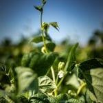 Soybean plant in a field