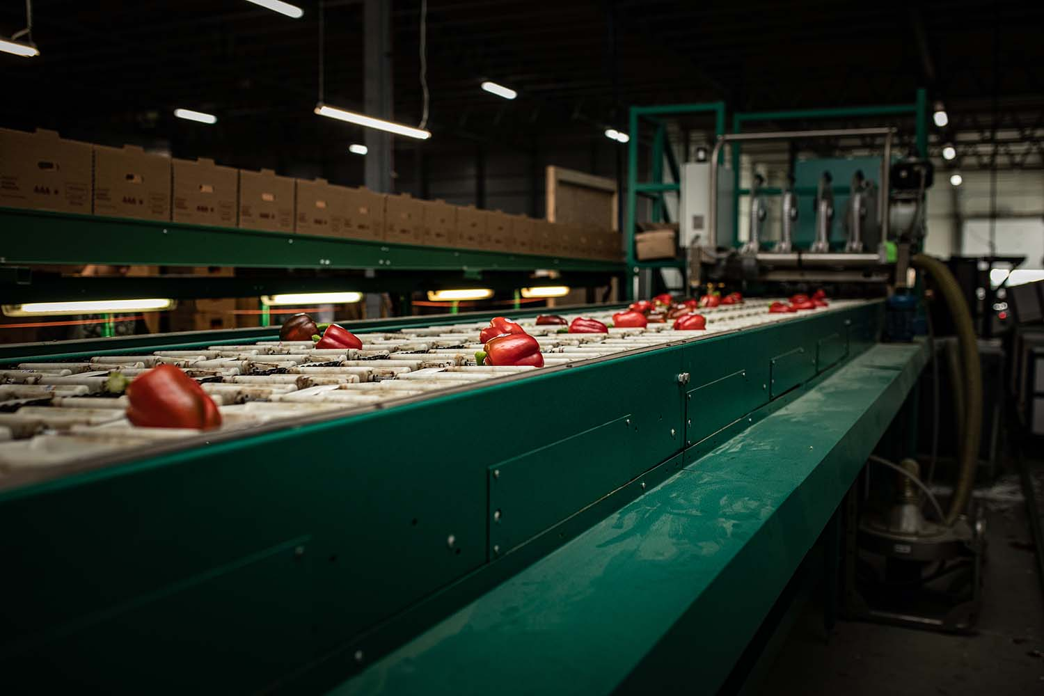 Red peppers on a conveyor belt