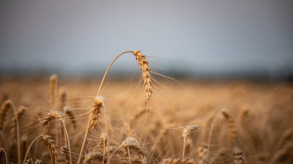 A single wheat sheaf is in focus over a field of wheat, representing Canada's agri-food disruption.