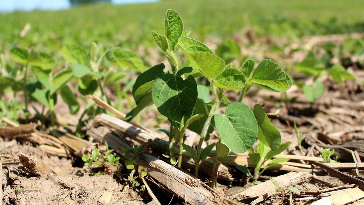 Soybean grows in a field